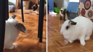 Cats shocked at presence of giant bunny rabbit