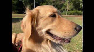 Funny dog: Golden retriever