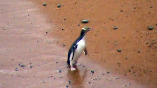 Catching a glimpse of the world's rarest penguin