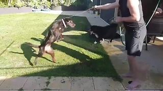 Dog goes crazy for water hose playtime