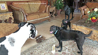 Great Danes and Friends Argue About The Same Toy