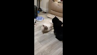 Cat best friends take part in epic Wrestlemania match