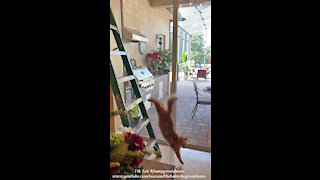 Funny Jack The Cat Leaps Off A Ladder With A Perfect 10 Dive To The Floor