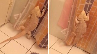Clumsy Bearded Dragon Tries And Fails To Climb Shower Curtain
