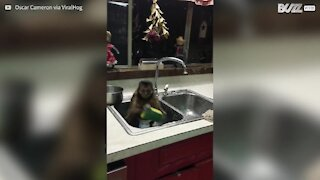 Les singes ne nettoient pas les maisons ! Hein ?
