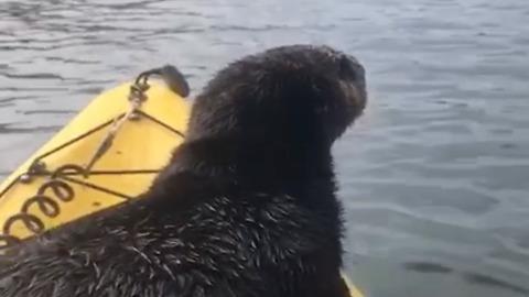 Adorable Sea Otter Catches A Ride