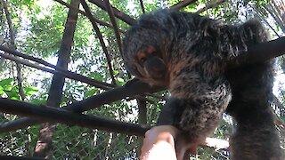 Rescued Saki Monkey wants to befriend caretaker