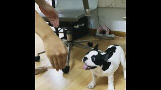 Happy Frenchie puppy playing with his Dad