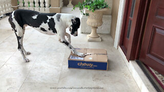 Clever digging Great Dane has fun opening box of dog food
