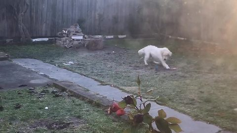 Golden Retriever jumps for joy upon discovery of favorite toy