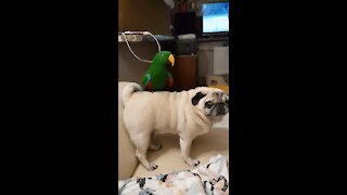 Thrill-seeking parrot goes for ride on back of pug