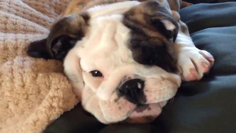 Reuben the Bulldog throws a temper tantrum