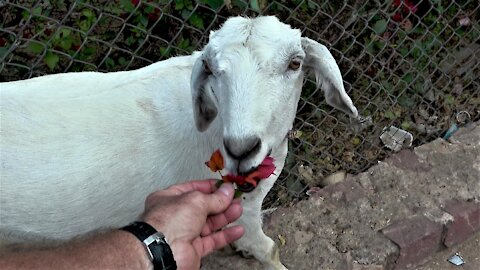 Hungry goat gets a little help from a passing tourist