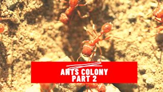 Ants Community Working Together part 2