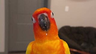 Parrot loves popcorn so much that he dances in excitement