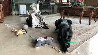 Goofy Great Dane Loves To Play With His Feet In The Air