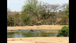 Hippo bull chases antelope away from 'his' watering hole