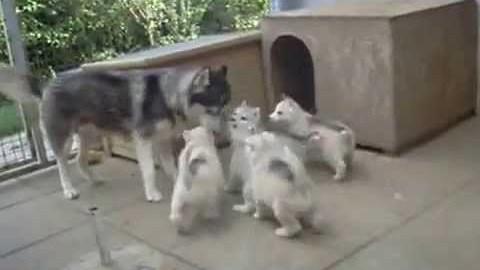 Sweetest husky puppies ever