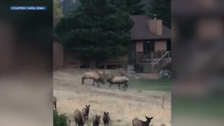 Intense elk match captured from her front porch