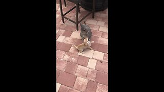 Crazy Chihuahua Puppy Attempts To Play With Cat