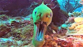 Curious moray eel sniffs at scuba diver's camera