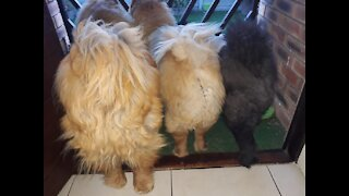 """How To# - Chow Training """"Chows most difficult dog breeds to train"""" lets Show them LOL"""
