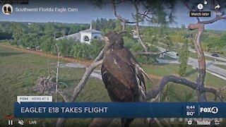 Eaglet takes flight