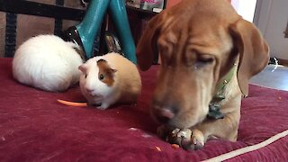 Dog enjoys carrot treat with guinea pig friends