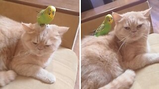 Parrot thinks best place to play is on sleeping cat