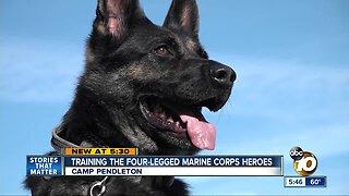 Training the four-legged Marine Corps heroes