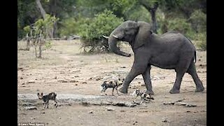 Pandemonium Broke out When Wild Dogs attack Elephants at The Kruger National Park