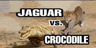 Jaguar vs. Crocodile