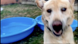 Hyperactive Labrador is super excited with his new pool