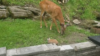 Like a scene from 'Bambi': Deer, rabbit & chipmunk all snack together
