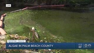 Algae in Palm Beach County creating concerns for residents