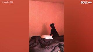 Ogni mattina salta contro il muro, ma perché?