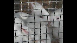 Cute fluffy rabbits