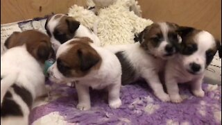 Jack Russell Terrier puppies see the bell toy.)