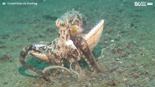 Clever octopus hides in shell