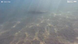 Una manta scompare sul fondo del mare