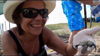Couple release baby sea turtles, swim with adults turtles in the wild