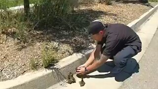Police help ducklings get safely off the highway