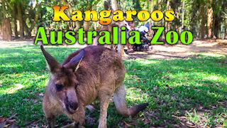 Kangaroos at Australia Zoo - A Cute Kangaroo Video