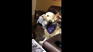 Service dog sucks on his stuffed animal like a pacifier