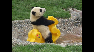 Hermosos bebes panda jugando. Te derrite