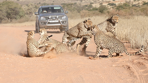 Coalition Of Cheetahs Attack Female | SNAPPED IN THE WILD