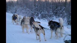 Husky Dog Sledding with Transportation and Photo Service in Fairbanks, Alaska