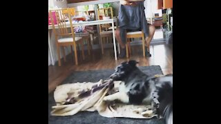 """Aussie pup performs """"burrito"""" trick and it's the best thing ever"""