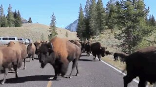 A flock of bison prevents people from crossing with their car
