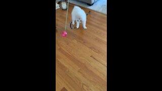 Cute Fluffy Samoyed Puppy Playing